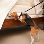 Chien détectant la punaise de lit
