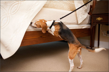 punaise de lit infos gratuites et de r f rence sur les punaises de lit des chiens pour. Black Bedroom Furniture Sets. Home Design Ideas